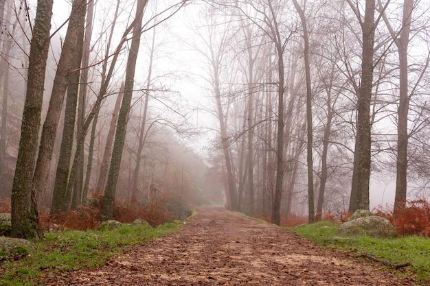 Via tra i pioppi in una giornata nebbiosa misterioso sentiero rettilineo in una foresta magica