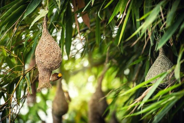 Uccelli del tessitore che catturano sul nido che appende sull'albero di bambù nella foresta