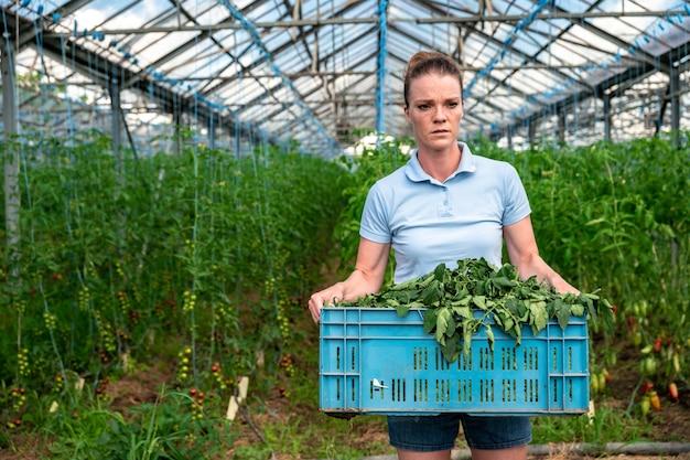 Erbacce nelle verdure in una serra, pomodori in crescita