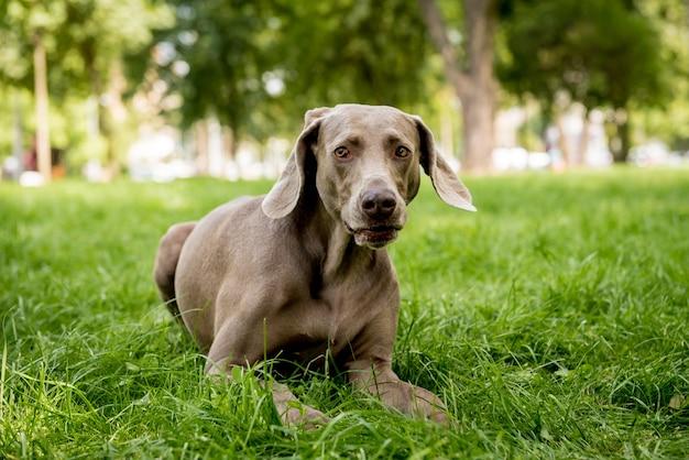 Cane weimaraner al parco
