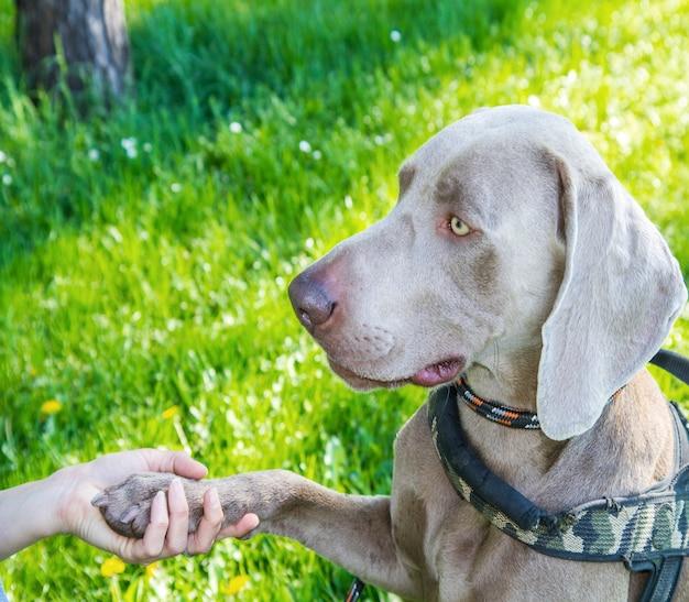 Il cane di weimaraner nel parco