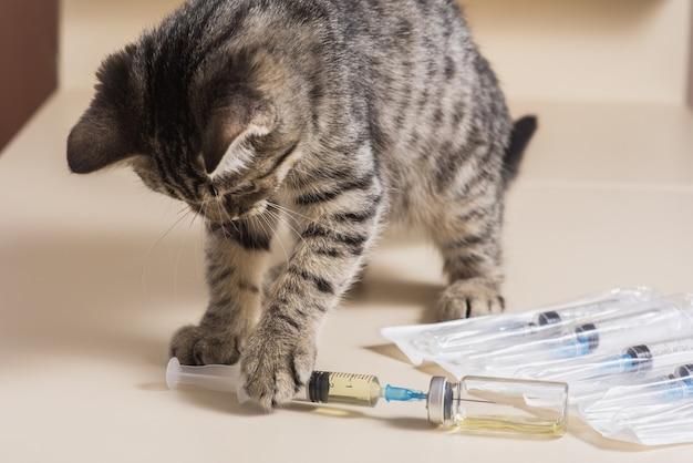 Un gatto ben curato gioca con elementi medici per la vaccinazione. infusione di gatti in una clinica veterinaria per iniezione. trattamento per gatti. medicina veterinaria. il gatto giocherellone non ha paura delle iniezioni