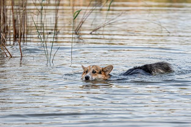 Il cane welsh corgi pembroke nuota nel lago e gode di una giornata di sole
