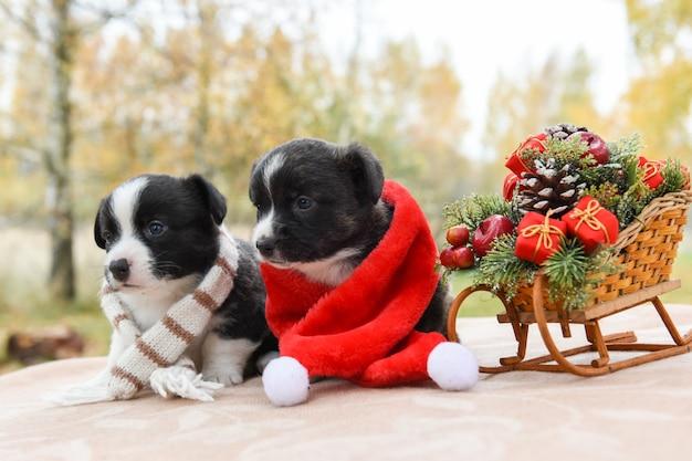 Welsh corgi pembroke cuccioli cani in cappello della santa