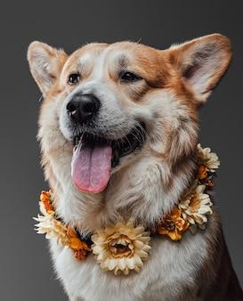 Welsh serio corgi cane seduto e in posa con la lingua sporgente indossando ghirlanda di fiori sul collo su sfondo nero in studio.