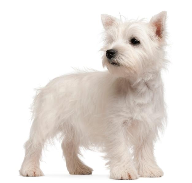 Cucciolo di west highland terrier, 4 mesi,