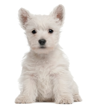 Cucciolo di west highland terrier, 7 settimane,