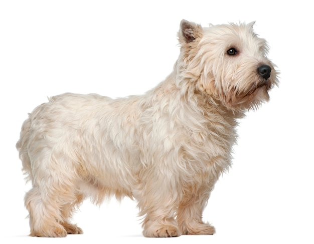 West highland white terrier (3 anni)