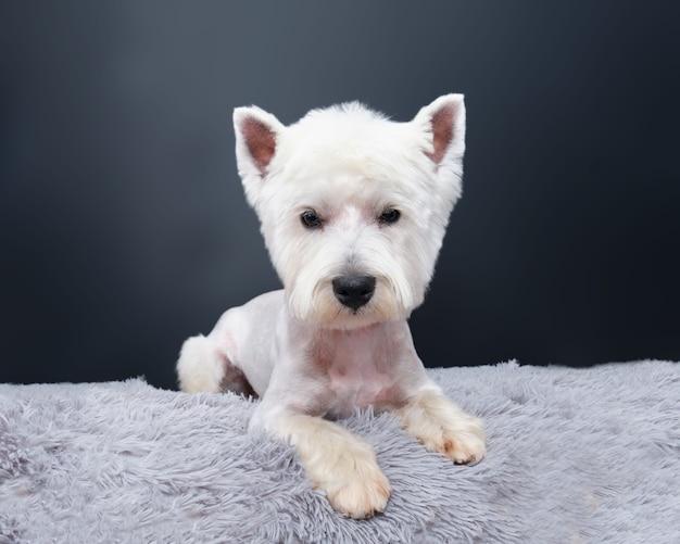 Il cane west highland white terrier giace su un tappeto grigio contro un muro nero