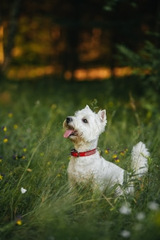 West highland white terrier dog sitter nel campo estivo con fiori