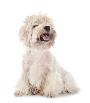 Cane west highland white terrier