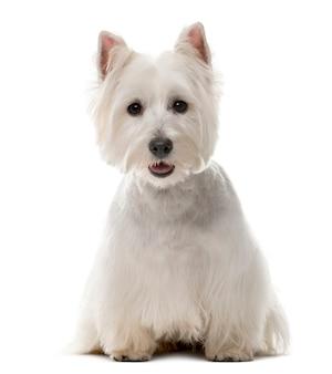 West highland white terrier davanti a un muro bianco
