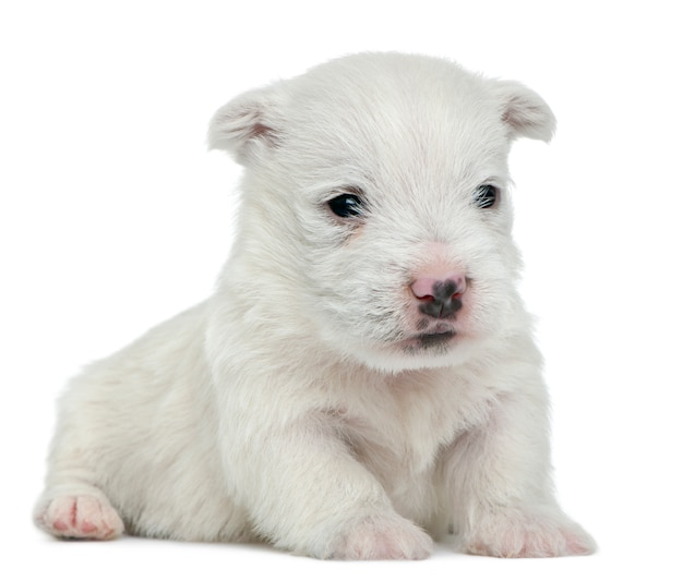 Cucciolo di west highland white terrier (4 settimane)