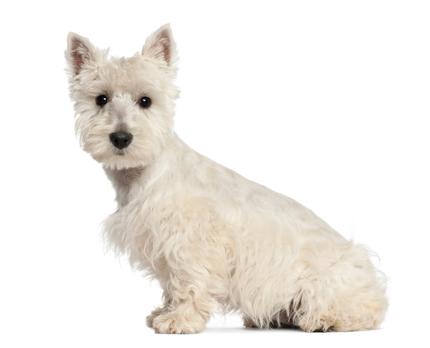 Cucciolo di west highland white terrier che si siede contro il fondo bianco