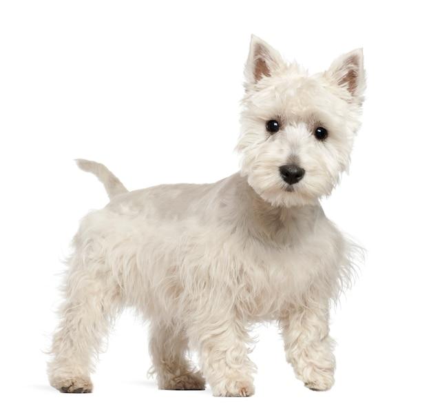 Cucciolo di west highland white terrier che sta contro il fondo bianco