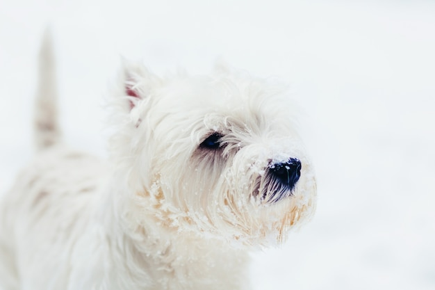 West highland white terrier snow ritratto
