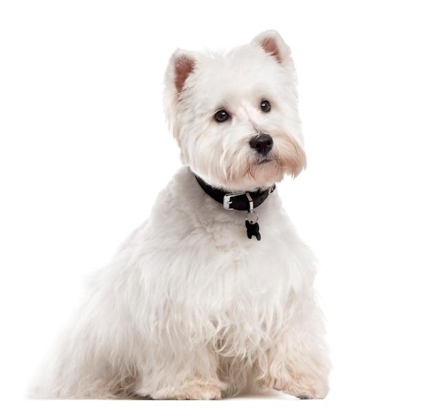 West highland white terrier con un collare seduto e distogliere lo sguardo isolato su bianco
