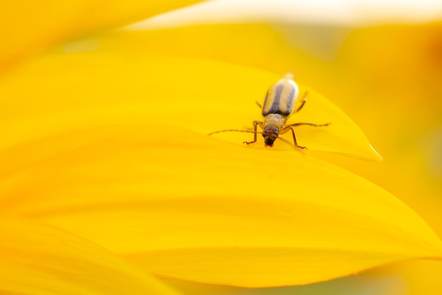 Scarabeo del mais occidentale - diabrotica virgifera. girasole, un coleottero nocivo del cereale dell'insetto su un fondo giallo, primo piano primo piano dello scarabeo diabrotica virgifera su uno sfondo giallo. diabrotica virgifera.
