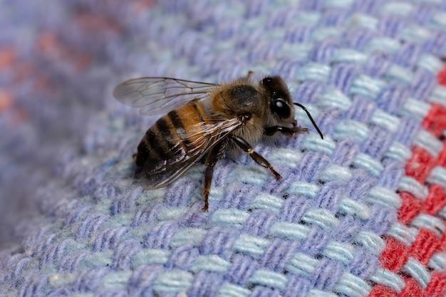 Western honey bee della specie apis mellifera