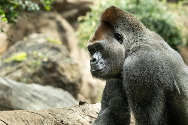 Un gorilla di pianura occidentale con un'espressione imbronciata. il gorilla mi guarda.