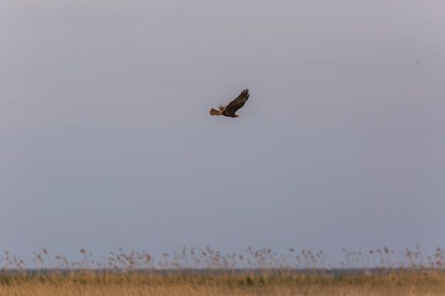 Falco di palude (circus aeruginosus) nella riserva naturale di aiguamolls de l'emporda, spagna.