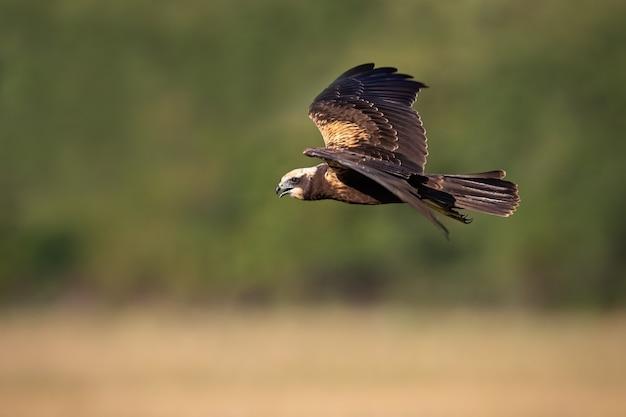 Femmina di falco di palude occidentale in volo in estate natura