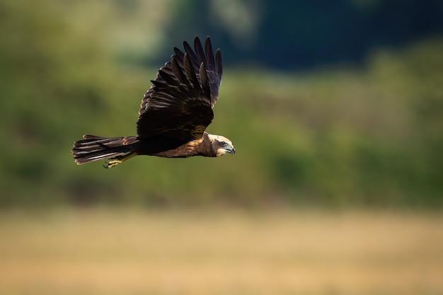 Falco di palude che sorvola il campo in estate