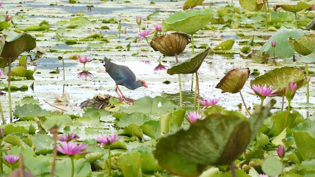 Swamphen occidentale sul lago, ninfee, fiori di loto rosa. uccello allo stato selvatico. stagno tropicale esotico.