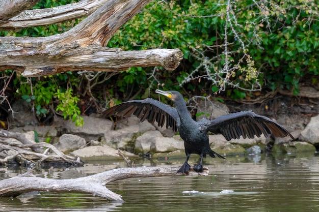 Il cormorano nero bagnato si è appollaiato su un grande albero caduto sopra l'acqua nel parco di hainault forrest che asciuga le sue ali