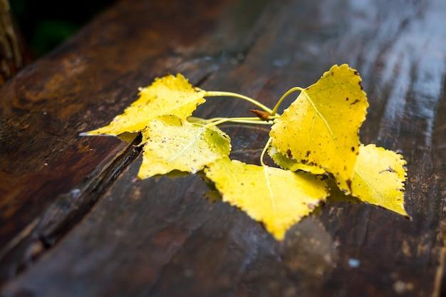 Ramo bagnato con foglie di betulla su una panca di legno in una giornata piovosa