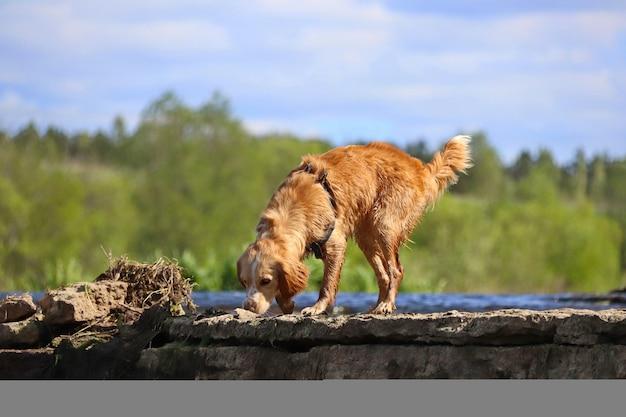 Il cane bagnato dai capelli rossi corre sull'acqua e si scrolla di dosso