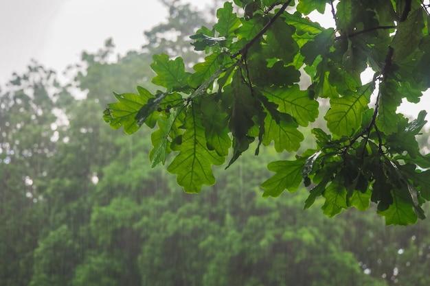Ramo di albero bagnato sotto la pioggia battente. sfondo di pioggia.