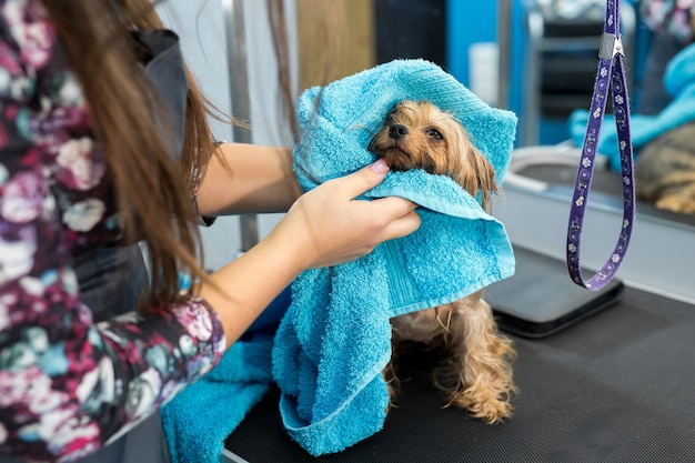 Wet yorkshire terrier avvolto in un asciugamano blu su un tavolo in una clinica veterinaria