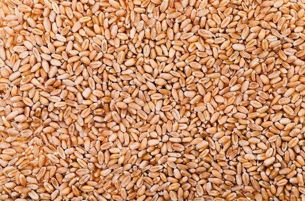 Frumento (primo piano) - primo piano di grano maturo dopo il raccolto