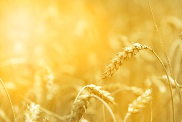 Grano - chiudi il campo di grano. grano come sfondo. grano alla luce del sole