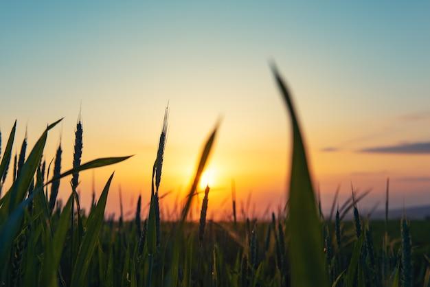 Spighe di grano contro il cielo al tramonto