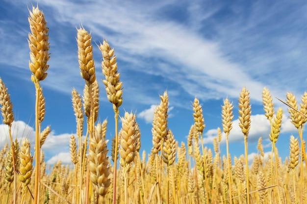 Primo piano di spighe di grano su un cielo azzurro con nuvole