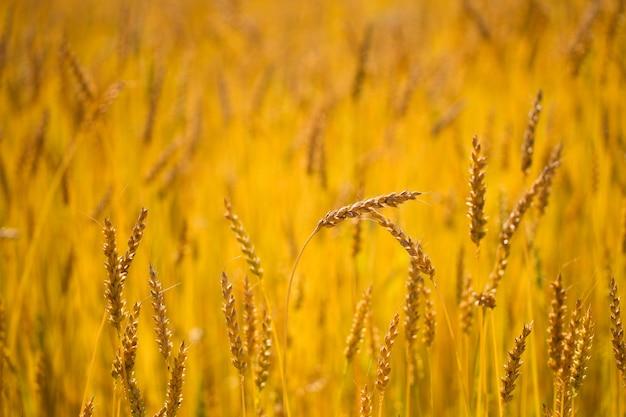 Spighe di grano del raccolto fresco in una giornata di sole estivo