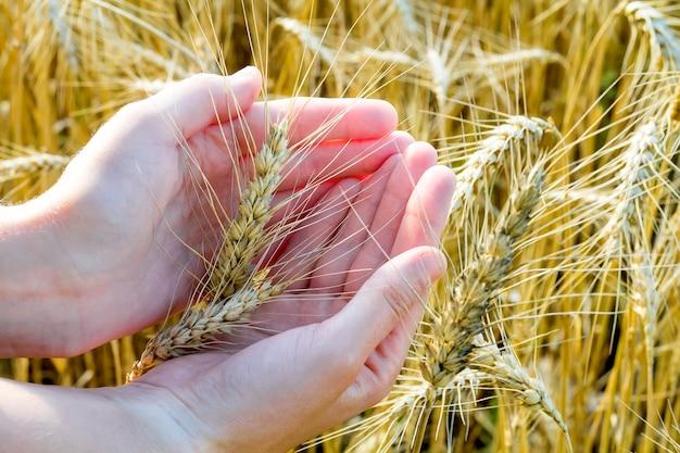 Spighe di grano in mano alla donna. campo al tramonto o all'alba. concetto di raccolta.