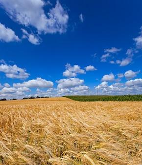 Campo di grano - un campo agricolo su cui cresce il grano