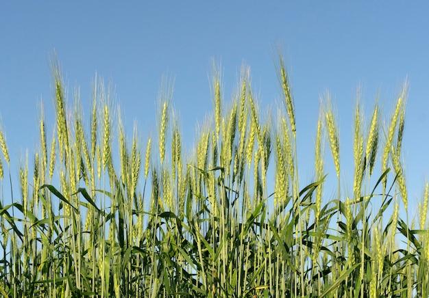 Fondo del campo di grano. raccolto di grano su un campo soleggiato di estate. agricoltura, allevamento di segale e crescente concetto di cibo bio eco. foto di alta qualità