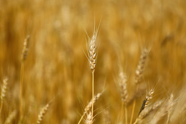 Primo piano del campo di grano. il grano giallo cresce
