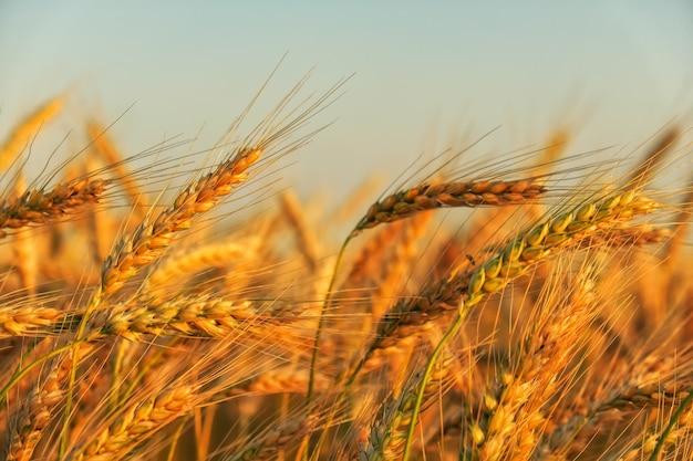 Campo di grano. spighe di grano dorato da vicino. bellissimo paesaggio al tramonto della natura. paesaggio rurale sotto la luce del sole splendente. fondo delle orecchie di maturazione del giacimento di grano del prato. concetto di raccolto ricco