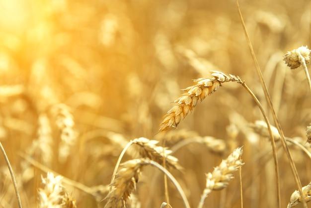 Campo di grano. spighe di grano dorato da vicino. bellissimo paesaggio al tramonto della natura. paesaggio rurale sotto la luce del sole splendente. fondo delle orecchie di maturazione del giacimento di grano del prato. concetto ricco di raccolto.