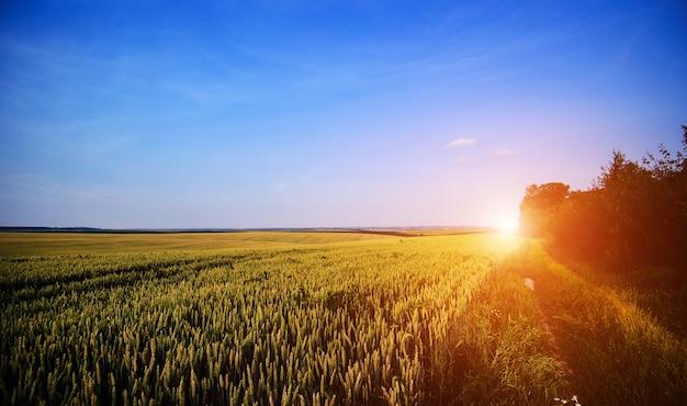Campo di grano. spighe di grano dorato si chiudono. bellissima natura paesaggio al tramonto.