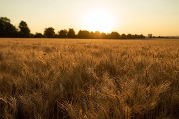 Campo di grano color oro al tramonto durante il raccolto.