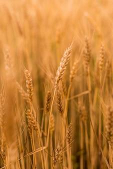 Campo di grano. spighette dorate del primo piano del grano