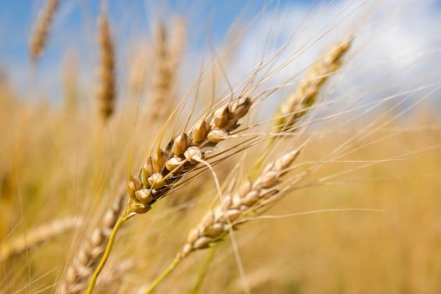 Campo di grano nella stagione del raccolto con sfondo azzurro del cielo