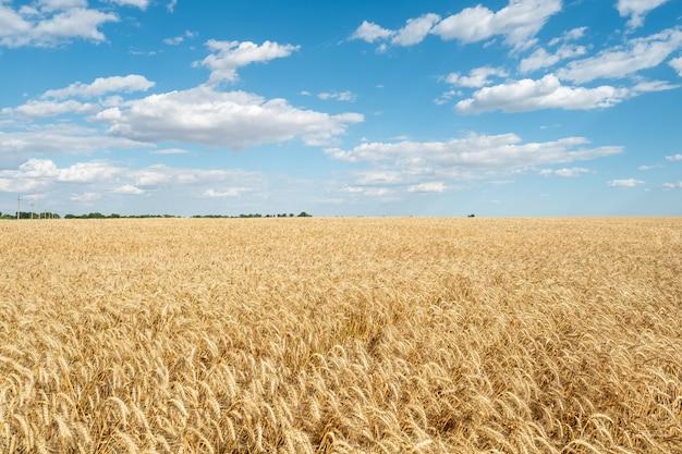 Il cielo blu di giorno luminoso giallo dorato brillante della paglia del giacimento di grano si appanna l'agricoltura