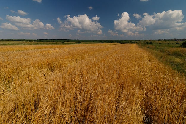 Campo di grano in giornata estiva. bellissimo paesaggio estivo